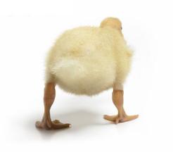 Duck_tocks
