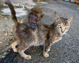 Monkey_kitten_1