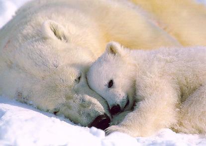 Polarbears_02amom_n_babysleeping