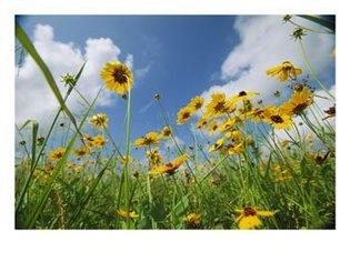 Askywardviewofcoreopsisflowersin_2