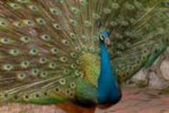 Peacock3_3
