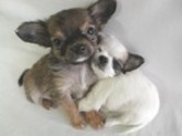 Chihuahua14_2