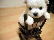 Cute_little_puppy3_1