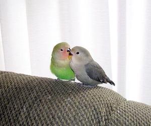 Merlin_cocolovebirds_lg1