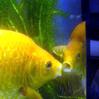 Thekissinggoldfish