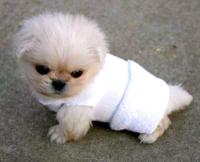 Tiia_o_lexy_peke_pup